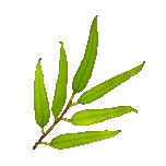 Eukalüpt ahtalehine eeterlik õli 10ml