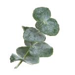 Eukalüpt eeterlik õli 10ml